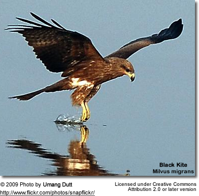 Black Kite landing in water