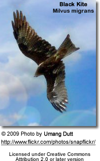 Flying Black Kite