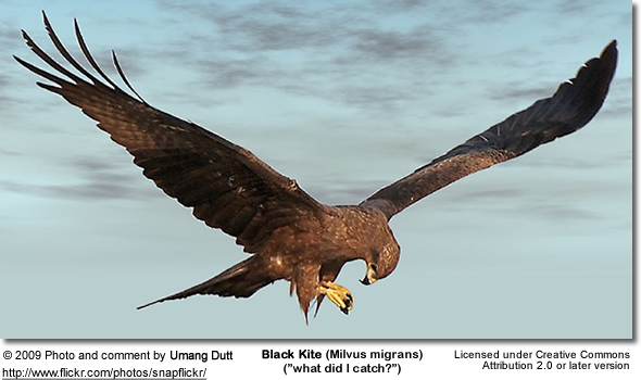 Black Kite with prey in its claws