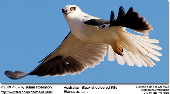 Black-shouldered Kite in flight