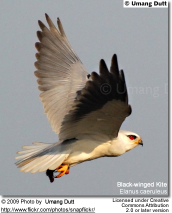 Black-winged Kites