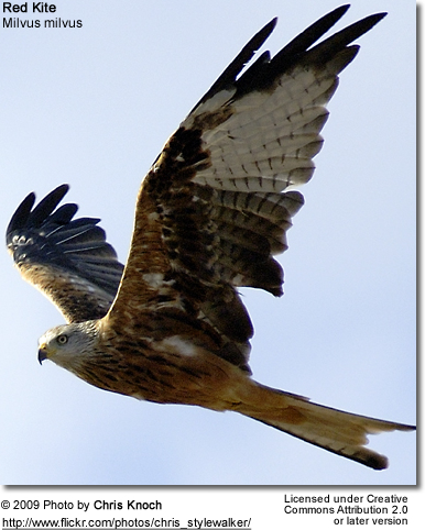 Flying Red Kite