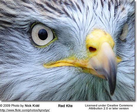 Red Kite Head Detail