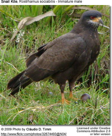 Young Male Snail Kite