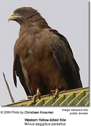 Western Yellow-billed Kite