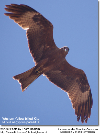 Western Yellow-billed Kite in flight