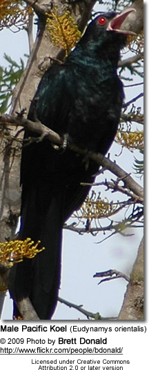 Male Pacific Koel (Eudynamys orientalis) - Male