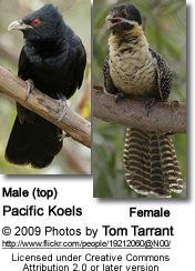 Pacific Koels (Malel and Female)