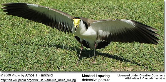 Masked Lapwing defensive posture