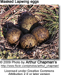 Masked Lapwing eggs
