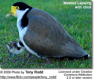 Masked Lapwing with chick