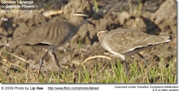 Pair of sociable lapwings