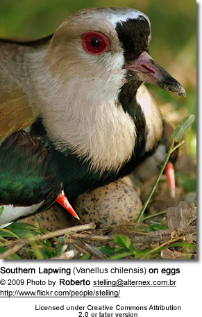 Southern Lapwing (Vanellus chilensis) on eggs