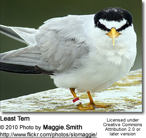 Least Tern (Sternula antillarum, formerly Sterna antillarum)