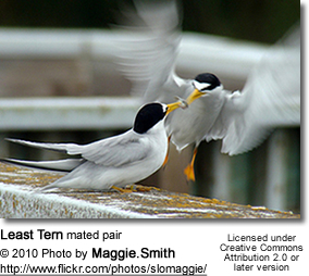 Least Tern mated pair