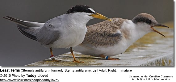 Least Terns (Sternula antillarum, formerly Sterna antillarum): Left Adult; Right: Immature