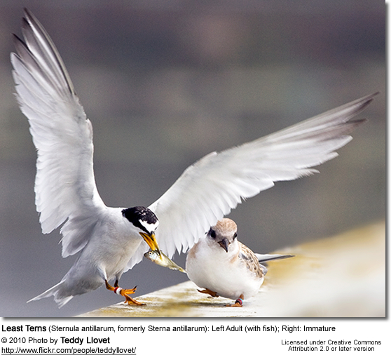 Least Terns (Sternula antillarum, formerly Sterna antillarum): Left Adult (with fish); Right: Immatur