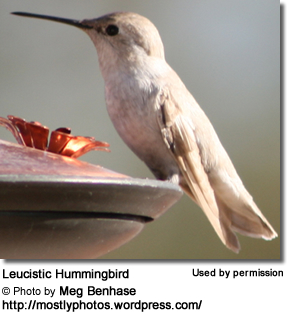 Leucistic Hummingbird seen in Tucson Arizona
