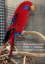 Blue-eared Lorikeet