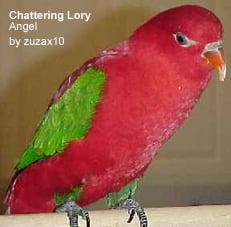 Chattering Red Lory