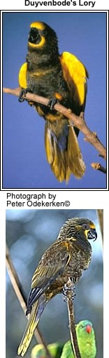 Duybendode's Lory by Peter Odekerken