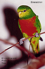 Emerald Lorikeet
