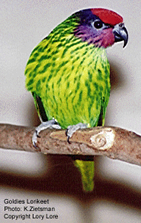 Goldie's Lorikeet