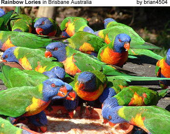 Rainbow Lories Feeding