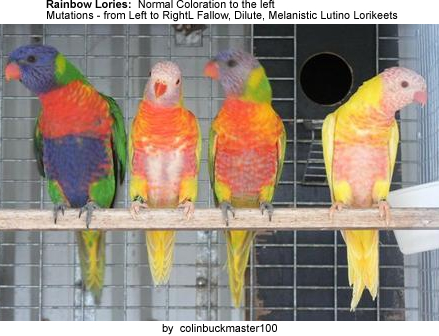 Rainbow Lories / Mutations