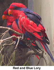 Red and  Blue Lorikeet
