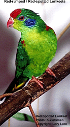Red-rumped Lorikeet