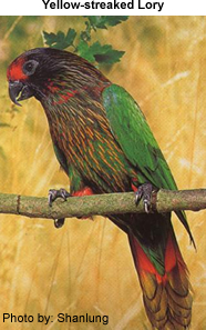 Yellow-streaked Lory