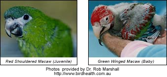 Greenwing Macaw Chick