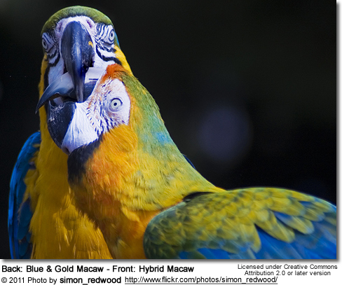 Back: Blue and  Gold Macaw - Front: Hybrid Macaw
