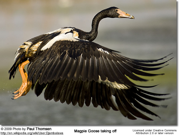 Magpie Goose taking off