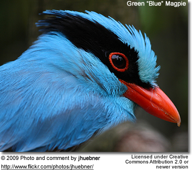 "Green ""Blue"" Magpie"