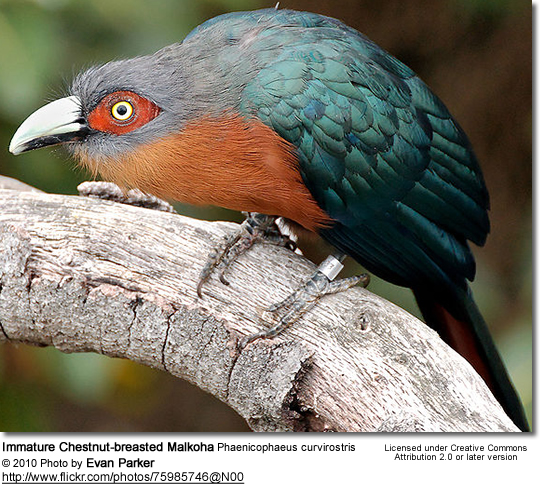 Chestnut-breasted Malkohas