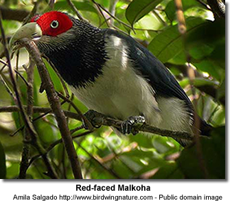 Red-faced Malkohas