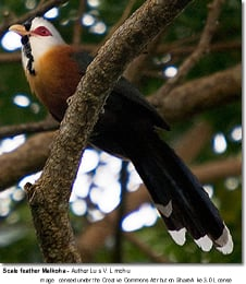 Scale-feathered Malkoha