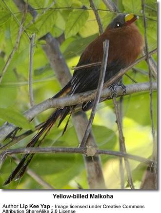 Yellow-billed Malkoha