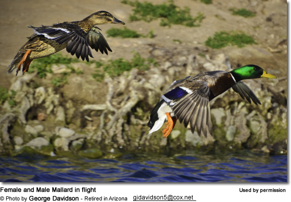 Female and Male Mallard in flight