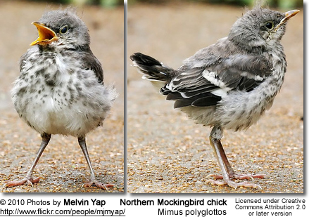 Northern Mockingbird chick - front and side