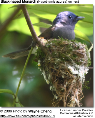 Black-naped Monarch female on nest
