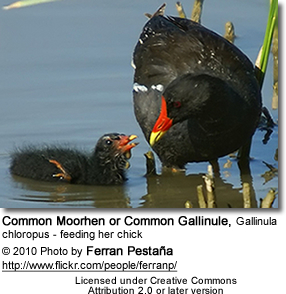 Common Moorhen or Common Gallinule, Gallinula chloropus - feeding her chick