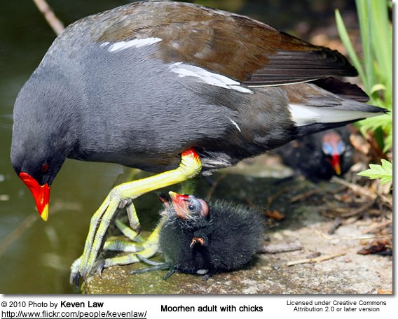 Moorhen adult with chicks