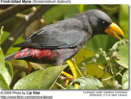Finch-billed Myna (Scissirostrum dubium)