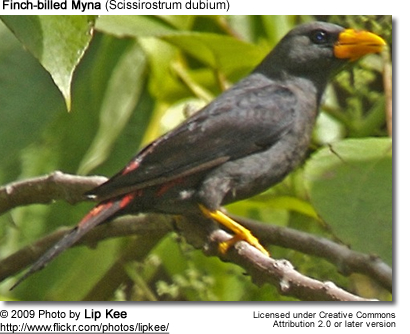 Finch-billed Mynah