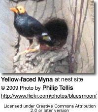 Yellow-faced Mynah at nest