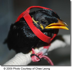 Hill Myna chick being trained on the harness