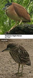 Nankeen Night Herons